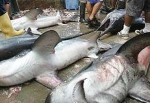 Pesca de Tiburon