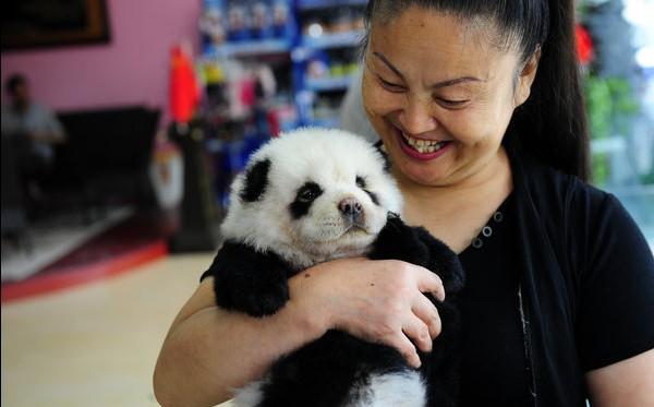 Милые ручные панды-собаки