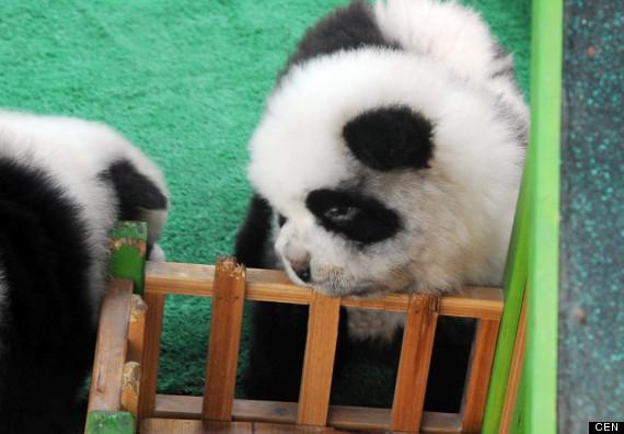 Щенок собаки-панды в питомнике. Китай