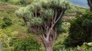 Drago - Drachenbäume