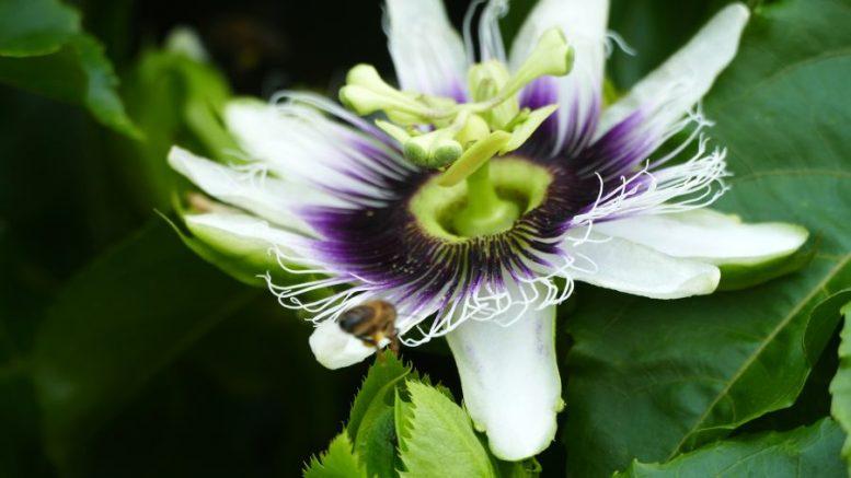 Blüte Maracuja