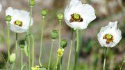 Frühling - Mohnblumen