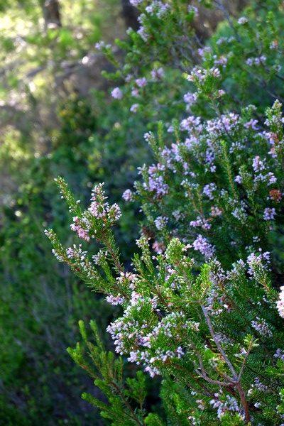Thym en fleurs à Cassis