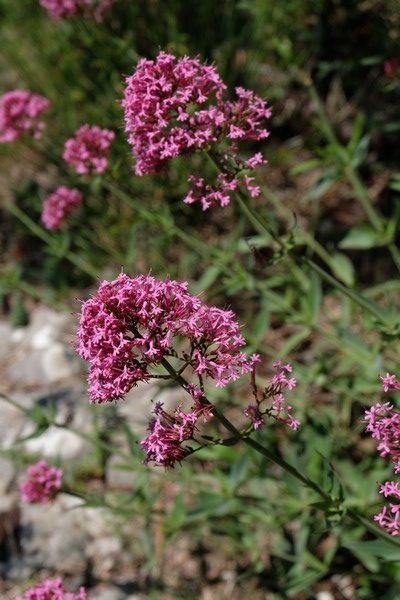 Plante méditerranéenne à Peillon