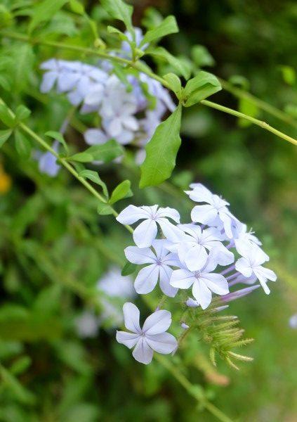Fleur sur l'Île Saint-Honorat