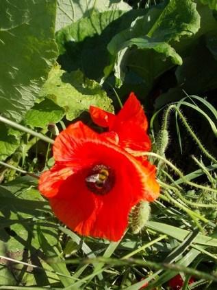 Au inflorit macii (4)
