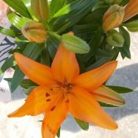Crinul - Floarea lunii iunie