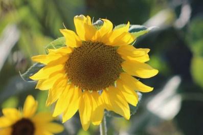 floarea_soarelui_ (1)