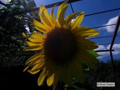 floarea_soarelui_ (4)