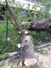 curatenie arbori (6)