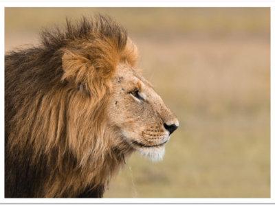 Cliquez pour adopter les lions d'Afrique !