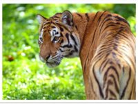 Cliquez pour adopter les tigres !