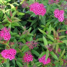 Spiraea x bumalda Anthony Waterer