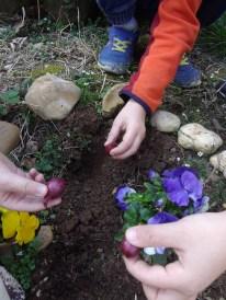 Planter les oignons rouges