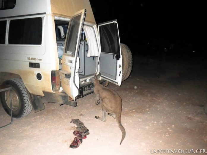 kangourou au camp