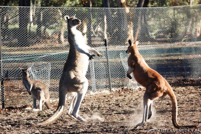 Boxing entre kangourous