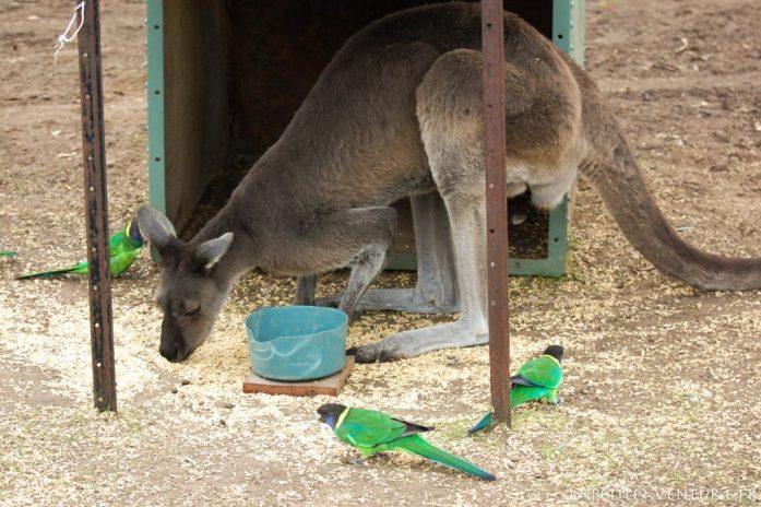 Kangourous et perruches