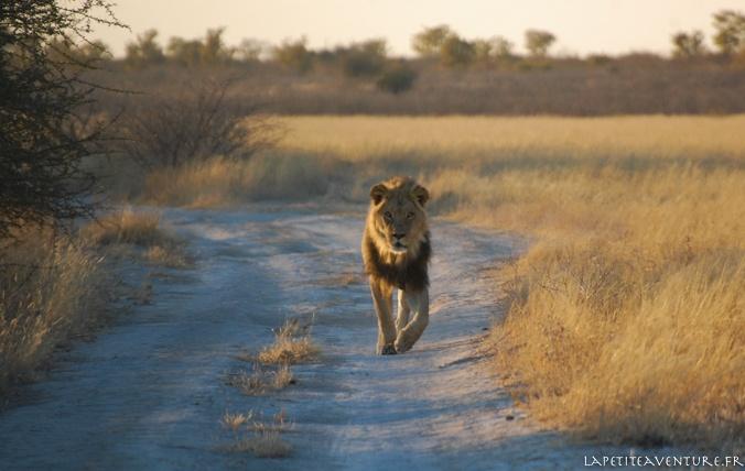 lion sur une piste du Kalahari
