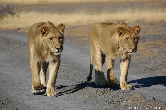 jeunes lions du Kalahari