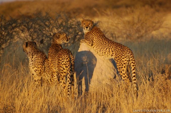 guépards du Kalahari