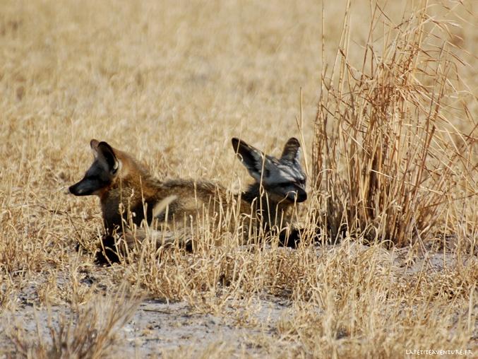 Battle eared fox du Kalahari