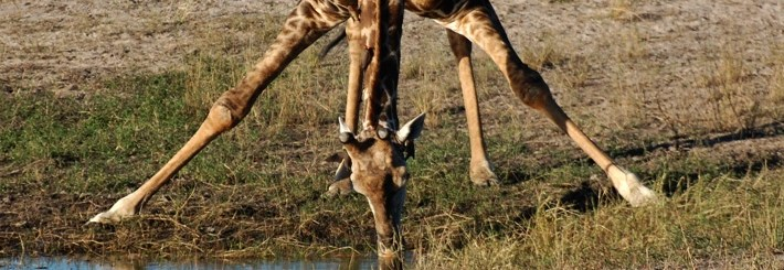 girafe au botswana