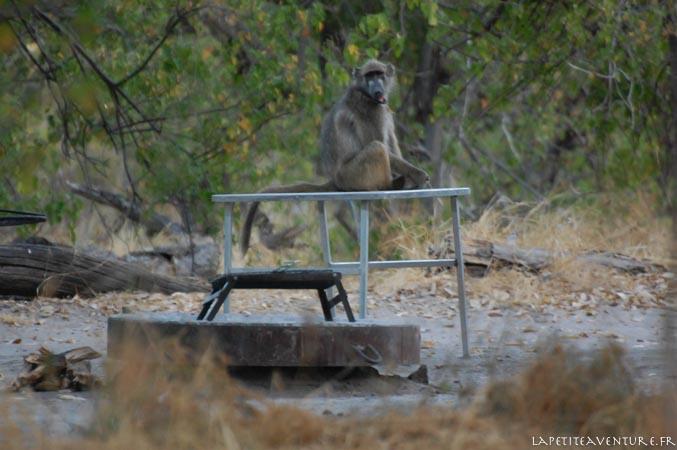camp et babouin à moremi