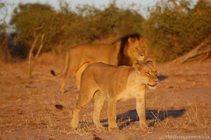 lion dans le nord du botswana
