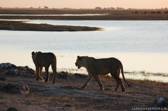 lionne au nord du botswana