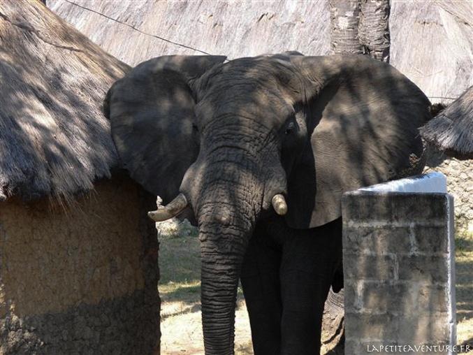 Eléphant en Zambie