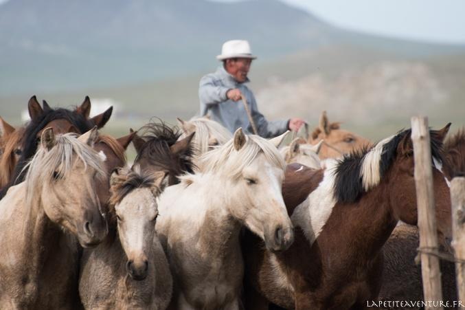 chevaux en liberté en Mongolie