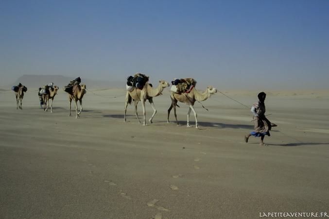 Dromadaires en Mauritanie