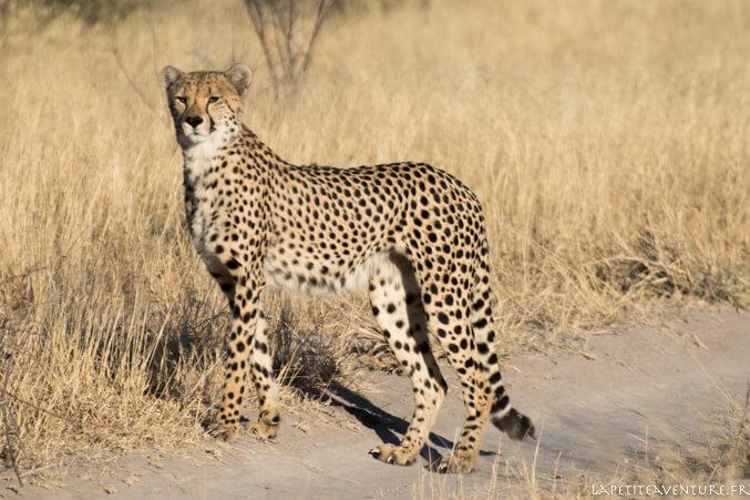 Guépard du Kalahari