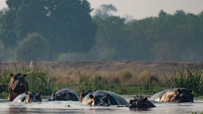 hippos du zambèeze