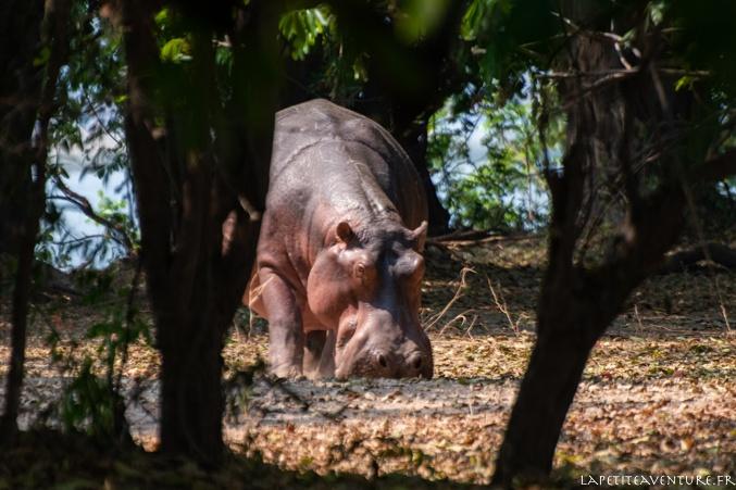 hippo du zambeze