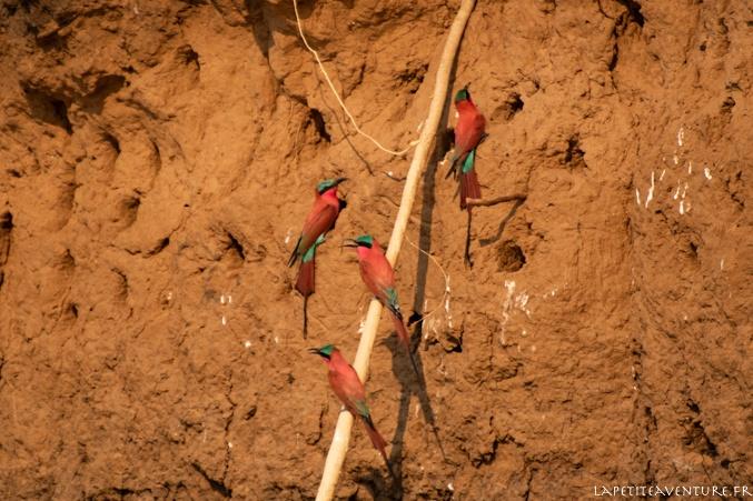 guêpiers du zambèze