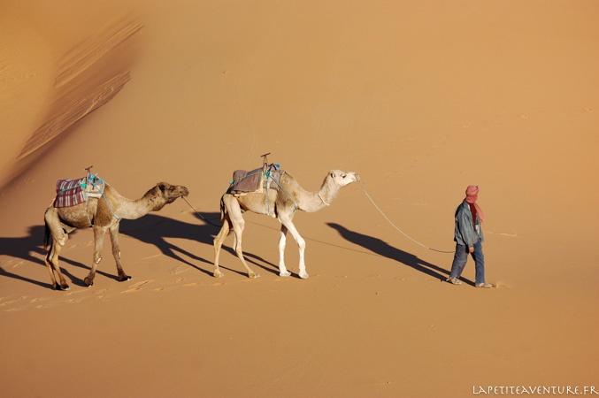 chameaux dans le désert au Maroc