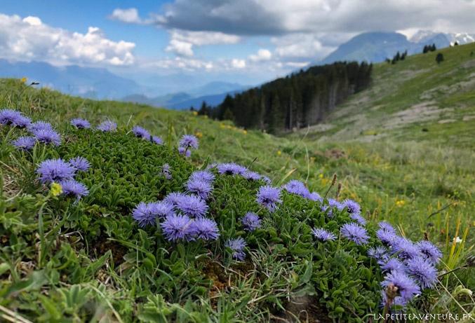 Jasione des montagne, massif de Belledonne