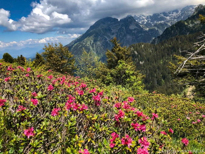 Rhododendrons et sommets enneigés