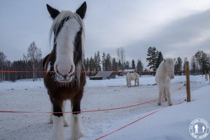 Cheval islandais en Suède