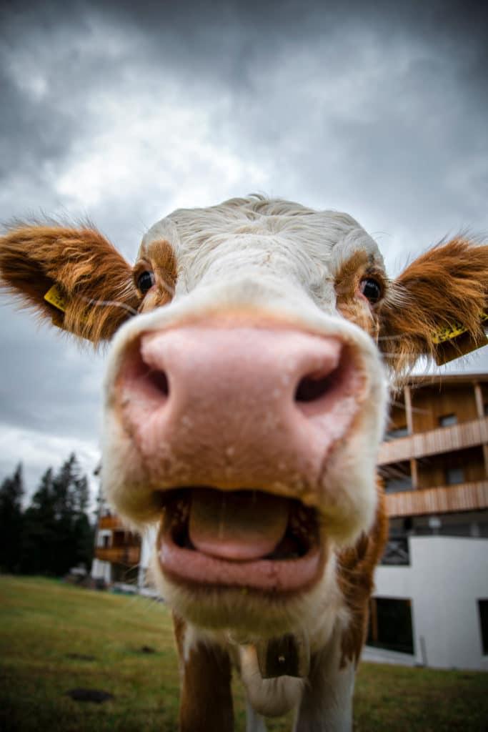 Portrait vache pour illustrer l'ouverture du diaphragme