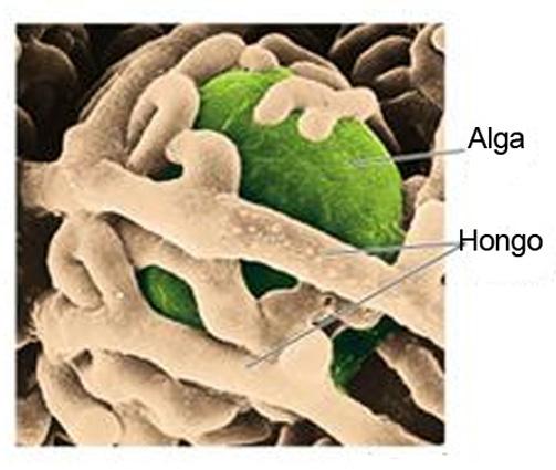 Estructura de un líquen: abrazo entre unhongo y un alga