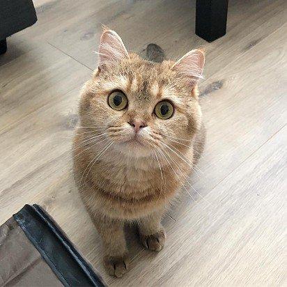 Kucing skotlandia