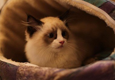Рэгдолл Kucing Amerika - Ragdoll