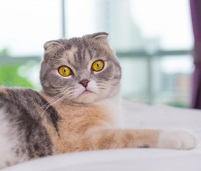 Kucing Lipat Skotlandia