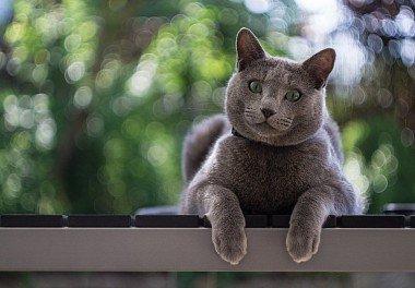 Kucing biru Rusia