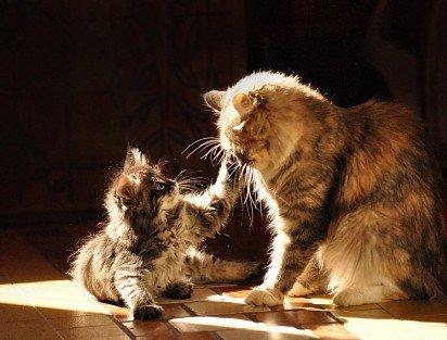 Anak kucing Siberia dengan ibu