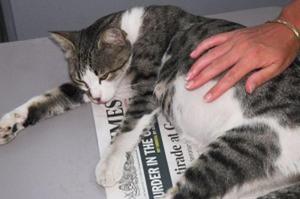 Как понять беременная кошка или нет. Признаки, по которым можно понять, что кошка беременна после вязки