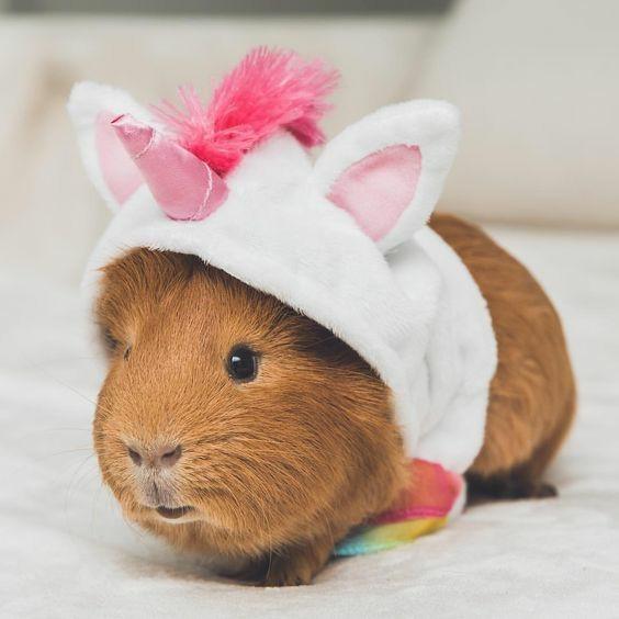 pierde greutatea guineei porc)