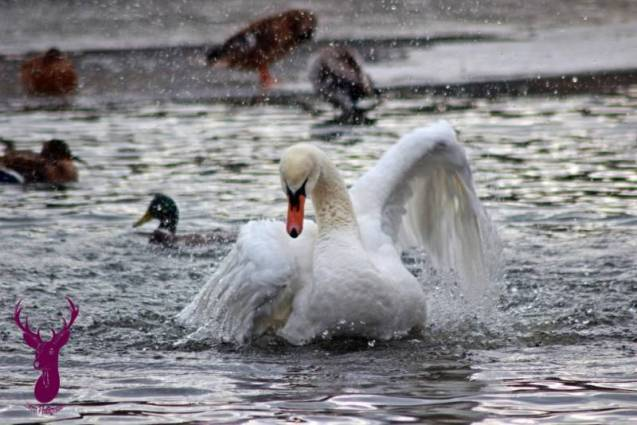 photos-cygnes-canards-Contrex (8)